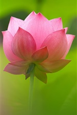 Preview iPhone wallpaper Beautiful pink lotus, petals, blur background