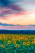 Preview iPhone wallpaper Beautiful sunflowers field, evening, sunset, summer
