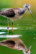 Bird in the water, reflection