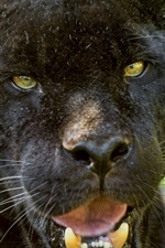 Preview iPhone wallpaper Black jaguar, face, yellow eyes