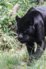 Preview iPhone wallpaper Black jaguar walking, grass, predator