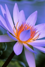Blue petals water lily