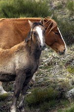 Preview iPhone wallpaper Brown horses, mother and cub