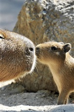 Preview iPhone wallpaper Capybara family, love kiss