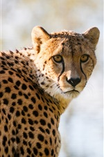 Preview iPhone wallpaper Cheetah spotted, predator look back