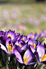 Preview iPhone wallpaper Crocuses bloom, purple flowers, petals
