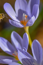 Preview iPhone wallpaper Crocuses, blue flowers, bee, spring