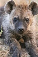 Cute hyena cub