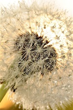 Preview iPhone wallpaper Dandelion flower close-up, dew, glare