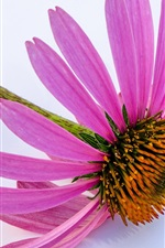 Preview iPhone wallpaper Echinacea, pink petals