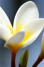Preview iPhone wallpaper Flowers close-up, plumeria, white yellow petals