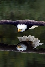 Preview iPhone wallpaper Flying eagle close to the lake water surface
