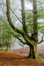 iPhone壁紙のプレビュー 森林の朝、夜明け、霧、木々
