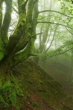 Forest morning, trees, green leaves, stream, fog, moss