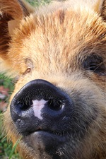 Preview iPhone wallpaper Furry animals, pig, nose