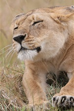 Preview iPhone wallpaper Grass, lioness rest, claws