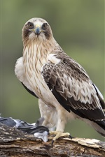 Preview iPhone wallpaper Hawk standing to eat food