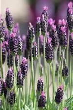 Lavender field, plant macro photography