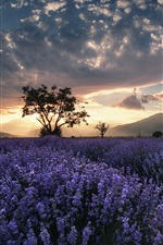 Preview iPhone wallpaper Lavender field, trees, summer, dusk, clouds, sunset