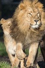 iPhone fondos de pantalla León y leona, depredadores