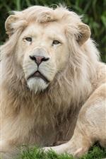Preview iPhone wallpaper Lion have a rest, predator