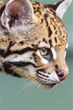 Preview iPhone wallpaper Little jaguar, ocelot, face