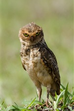 Preview iPhone wallpaper Little owl standing on ground