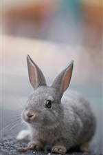 Lovely gray rabbit close-up