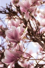 Preview iPhone wallpaper Magnolia flowering, tree, pink flowers, spring
