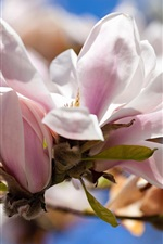 Preview iPhone wallpaper Magnolia, white flowers, spring