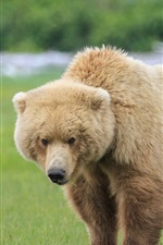 Preview iPhone wallpaper One brown bear in the grass