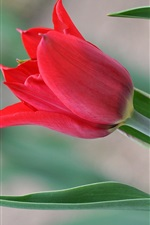 Preview iPhone wallpaper One red tulip flower, green leaves