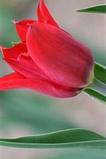 미리보기 iPhone 배경 화면 빨간 튤립 꽃, 녹색 잎