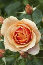 Orange petals roses flower close-up