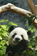Preview iPhone wallpaper Panda eating bamboo, green leaves, zoo