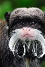 Preview iPhone wallpaper Peru, Emperor Tamarin, monkey