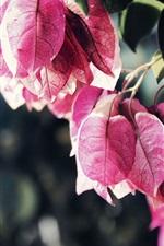 Pink bougainvillea leaves