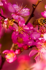 Preview iPhone wallpaper Pink cherry flowers, insect, bee, spring
