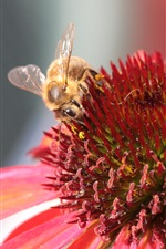 Preview iPhone wallpaper Pink echinacea flower, bee pollination