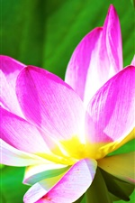 Preview iPhone wallpaper Pink petals lotus, leaves, sunshine