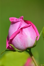 Preview iPhone wallpaper Pink rose bud close-up, green leaves