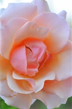 Preview iPhone wallpaper Pink rose flower macro photography, glare