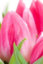 iPhone fondos de pantalla Rosa tulipanes flores close-up, fondo blanco