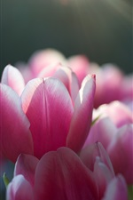 Preview iPhone wallpaper Pink tulips, focus, sun rays, spring