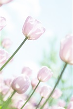 Preview iPhone wallpaper Pink tulips, garden, glare, sky