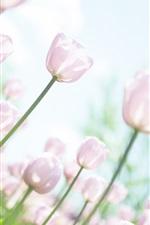 미리보기 iPhone 배경 화면 핑크 튤립, 정원, 섬광, 하늘