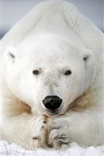 Urso polar resto, neve, grama