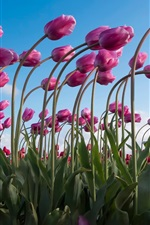Preview iPhone wallpaper Purple tulips field