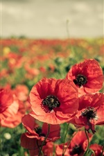 Preview iPhone wallpaper Red flowers fields, poppy
