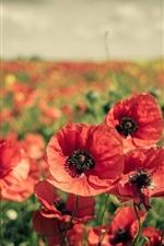 미리보기 iPhone 배경 화면 빨간 꽃밭, 양귀비